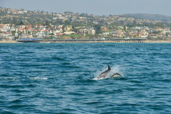 Dolphin off San Clemente Pier photo