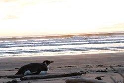 Random encounters at Pekapeka:clean waves and an emperor, Peka Peka photo