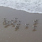 Sanderlings, Gillis