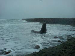 Elefante Marino, Playa Union photo