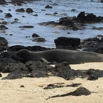 Monk seals at waimanalo