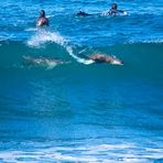 Dolphin and seal surfing at Winkipop