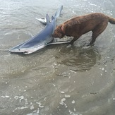 Blue Shark caught on Kontiki, Peka Peka