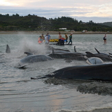 Pilot Whales at Puponga, Farewell Spit
