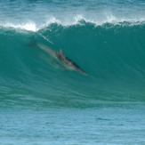 dolphin surfing waitpinga beach