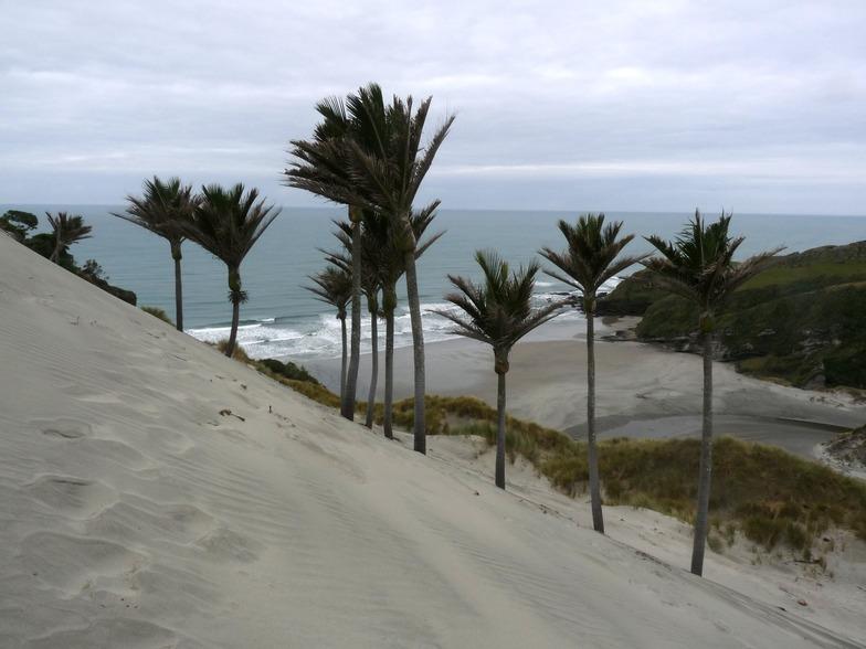 Nikau Plams at Kaihoka Beach, Fergusons Beach