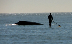 Humpback whale and SUP rider, Topsail Island photo
