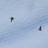 Pelicans high in the sky, Gillis
