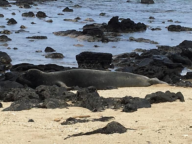 Monk seals at waimanalo