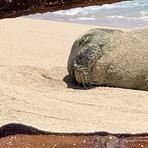 Hawaiian Monk Seal, White Plains Beach