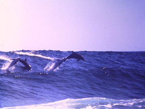 surfing dolphins, Moses Rock