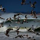 Seagull frenzy, Aberdeen