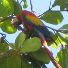 Macaw in a Tree on the Beach, Esterillos Oeste
