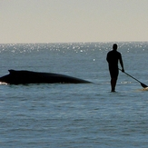 Humpback whale and SUP rider, Topsail Island