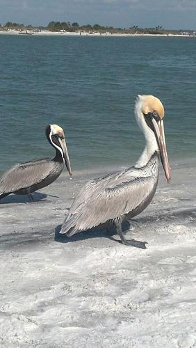 Honeymoon Pelicans, Honeymoon Island