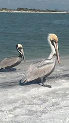 Honeymoon Pelicans, Honeymoon Island photo