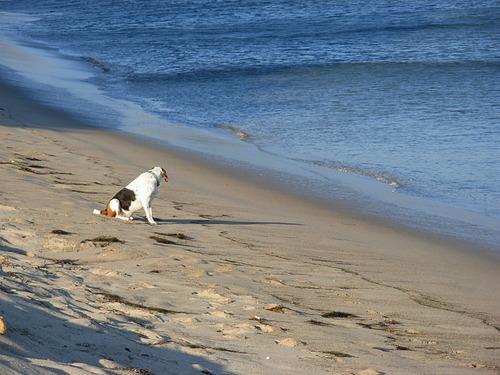 Surf Hound waits for a good set, The Hut - Paradise Cove