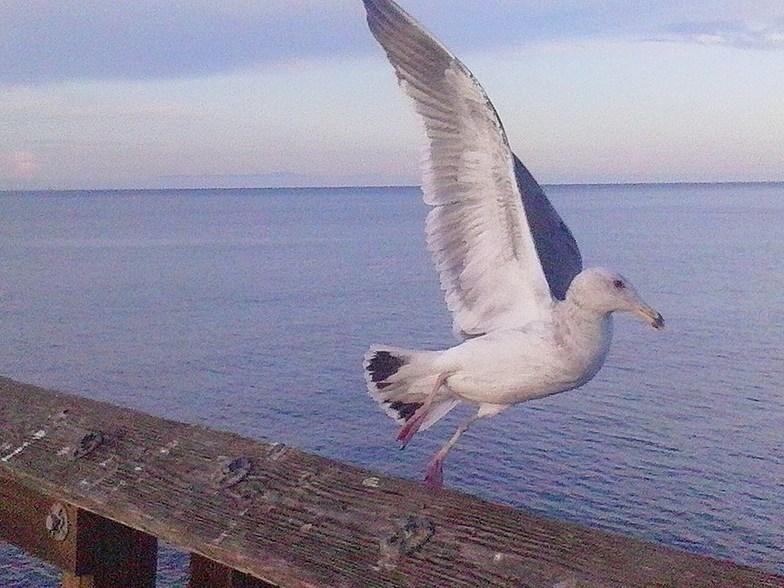 seagull in flight off Ventura Pier, Ventura Point